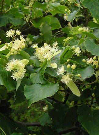 Липа амурская, Tilia amurensis