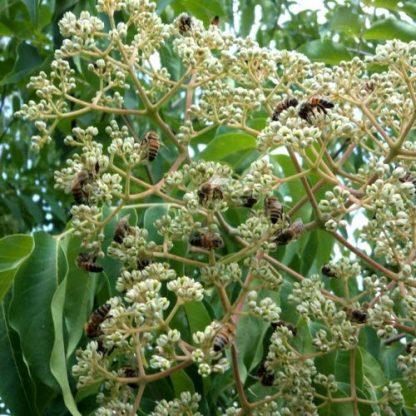 Эводия рутоплодная, Evodia rutaecarpa, семена