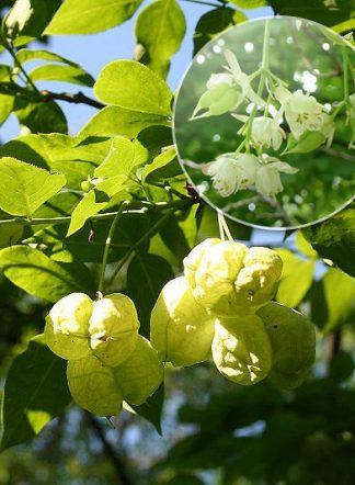 Клекачка Бумальда, Staphylea bumaldi