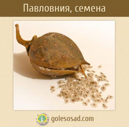 Павловния, семена