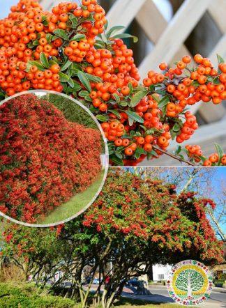 Пираканта ярко-красная, Pyracantha angustifolia, семена