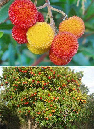 Земляничное дерево крупноплодное, Arbutus unedo, семена