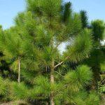 Сосна желтая скальная, Pinus scopulorum, семена
