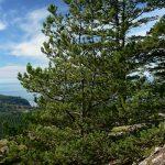 Сосна скрученная, Pinus contorta, семена