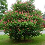 Каштан конский розовый Бриоти, Aesculus carnea Briotii, саженцы