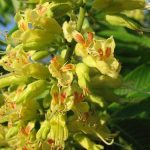 Каштан желтоцветный, Aesculus octandra, Саженцы