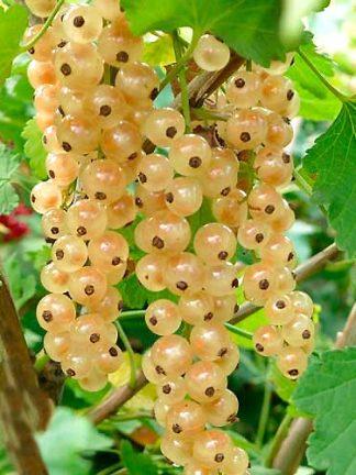 Смородина белая Баяна, Саженцы, white currant