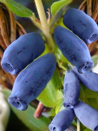 Жимолость Голубой банан, Саженцы, honeysuckle