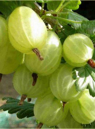 Крыжовник Мукуринес (Mukurines), Саженцы, gooseberry