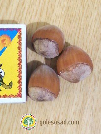 Фундук, сорт Галле, семена