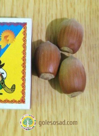 Фундук, сорт Курортный, семена