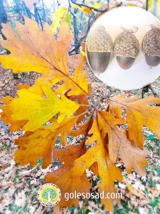 Quercus Miczurinii, Дуб Мичурина, купить желуди