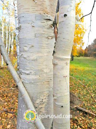 Береза Киргизская, betula kirgisorum sav, купить семена